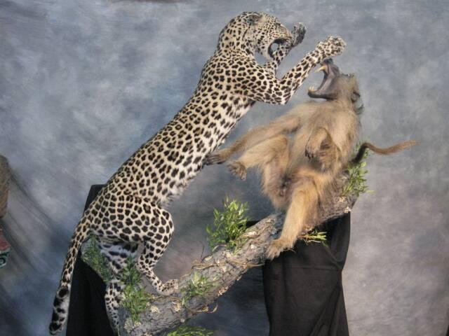 leopard baboon
