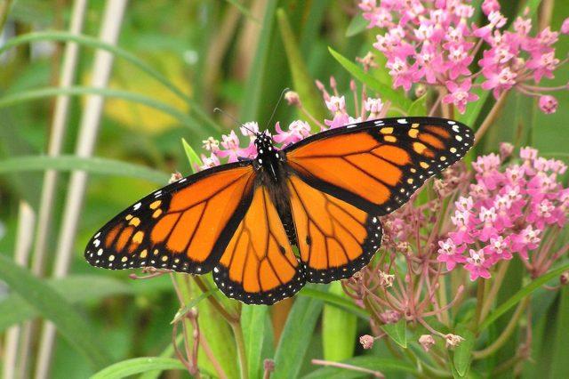 Nature Sets - monarch